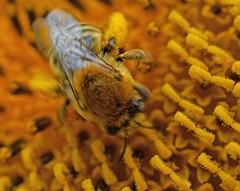 Buzy Bee (kendoman26) Tags: bee pollen sunflower macro sonyalpha sonya58 sonyslta58 sonyphotographing sal30m28