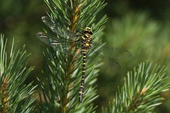 Golden-ringed Dragonfly (Cordulegaster boltonii) (westoncfoto) Tags: