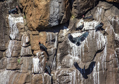 Bald Ibis (Hans van der Boom) Tags: holiday vacation southafrica lesotho zuidafrika semonkong maseru animals bird bald ibis black nest lso