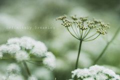 Cow Parsley ~ Lensbaby Velvet 85 (DefinitelyDreaming) Tags: lensbaby velvet85 cowparsley wildflower rural