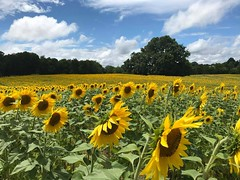 ~ Lost In A Sea Of Gold .... (~ Cindy~) Tags: sunflowers summer knoxville tennessee 2017 htmt