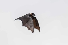 Fruit Bat (arthurpolly) Tags: bats fruitbats abigfave blueribbonwinner canon eos elements13 100400is flight nature natureselegantshots naturesfinest nationpark photoshop srilanka supershot unusual unforgettablepictures wildlife wild exotic