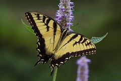 Eastern Tiger Swallowtail (Papilio glaucus) Male (Douglas Heusser Photography) Tags: glaucus papilio eastern tiger swallowtail butterfly insect arthropod wings lepidoptera lepidoptery canon macro photography 100mm lens new jersey wildlife nature nj heusser photo palmyra cove park