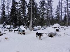 The grounds (lmundy2002) Tags: dogs dogsled dogsledding huskies sleds whitefish olney whitefishmt olneymt montana mt winter wintersports