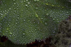 Raindrop Pointillism (brucetopher) Tags: rain raindrop drop droplet nature flora wet water bead beading color droplets raining damp moist green leaf leaves garden natural pattern scalloped scallop edge rounded radial