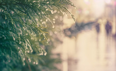 walking in the rain (gian_tg) Tags: reflection raindrops waterdroplets smileonsaturday conifertree bokeh outdoor street 7dwf streetscape abstract