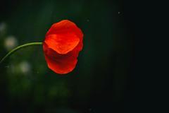 coquelicot (+ Groupe DOUCEUR + ABCédaire) Tags: flickr flickrelitegroup flickrelite fleur flowers rouge red nikon nikoneurope naturebynikon nature nikonpassion