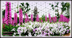 solidarity for Manchester (milomingo) Tags: garden nature flower bloom blossom plant horticulture foxglove petunia pink white spire columnar multiple vivid striking vibrant glow milwaukee wisconsin thedomes domes mitchellparkconservatory indoor digitalis frame photoborder steel metal geodesic geometry spring conservatory botanical cmwd cmwdpink