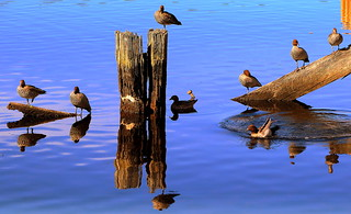 Count the WOOD DUCKS