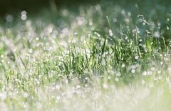 After rain (Inka56) Tags: sparkling grass green hbw jupiter21m oldlens manualfocus 7dwf closeup