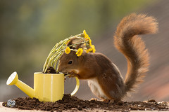 water can with flowers (Geert Weggen) Tags: mammal rodent squirrel nature animal red flower perennial closeup cute plant funny happy summer ground spring bright light tender love sun redsquirrel horizontal environmentalconservation planetspace planetearth backgrounds colorimage conceptstopics day environment birth environmentaldamage environmentalissues global ideas newlife nopeople photography pollution earthday wateringcan caster moulder wateringpot molder watercan geert weggen sweden hardeko jämtland bispgården