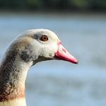 Egyptian goose thumbnail