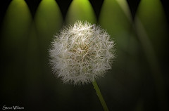 In the Spotlight(s) (Steve Wilson - over 9 million views Thanks !!) Tags: nikon d7000 nikond7000 chester cheshire england plant floral dandelion blow blowing wishes wish light lighting spotlight white green seeds seed wind background
