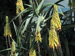 J20170520-0019—Aloe sp—DxO