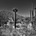 Crested Saguaro Along with a Hillside of Many Other Saguaro Cactus (Black & White, Saguaro National Park)