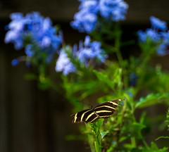 battle scarred zebra (tfhammar) Tags: butterfly zebra longwing plumbago garden