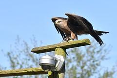 Watching... (JerryGoulet) Tags: wildlife nature nikon natureanythinggoes eagles birdsofprey gauntletbirdsofpreyeagleandvulturepark outdoors camera eyes spy watching cctv wings redkite england uk greatbritain