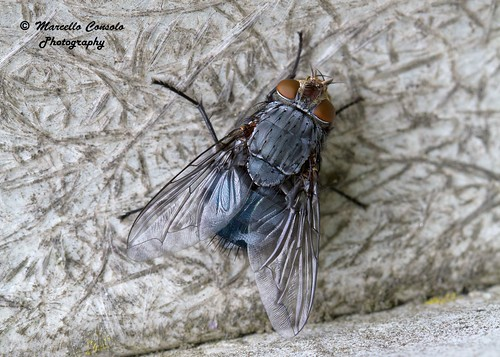 Calliphora vicina (Robineau-Desvoidy, 1830) ♀