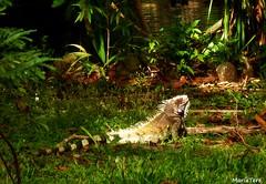 Iguana en El  Parque del Este (MariaTere-7) Tags: animales iguana parque del este caracas venezuela maríatere7