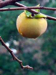 The Garden's Bounty (graeme37) Tags: garden fruit persimmon lateautumn