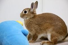 Ichigo san 728 (Ichigo Miyama) Tags: いちごさん。うさぎ ichigo san rabbitbunny netherlanddwarf brown ネザーランドドワーフ ペット いちご うさぎrabbit うさぎ