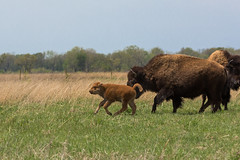 Kankakee Sands © Jason Whalen/Big Foot Media (JWhalenPhotography) Tags: 2017 bigfootmedia bison indiana jasonwhalen kankakee kankakeesands nature spring calf prairie