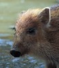 Everzwijn Anholt JN6A8415 (joankok) Tags: zwijn wildzwijn everzwijn wildboar boar mammal zoogdier dier animal europe europa anholt