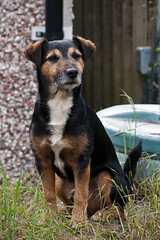 Jayne in the garden (Ghazghul) Tags: dog jack russell terrier lakeland cross nikon d300s sigma 105mmf28exdg
