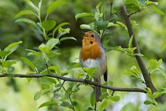 Sing my song (kalakeli) Tags: europeanrobin rotkehlchen erithacusrubecula singmysong singingrobin green april 2017 zoo münsterzoo birds vögel