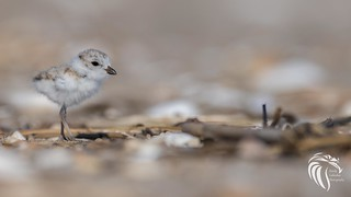 Piping Plovers of Sandy Hook [ENDANGERED] | 2017 - 5