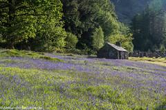 Ballachulish Bluebells (ola_er) Tags: flowers nature scotland highlands nikon nikonphotography d750 blue green light composition kirk church beauty spot