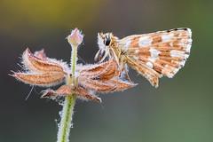 pelitos por doquier (Santi BF) Tags: mariposa papallona butterfly insecto insecte insect bicho bug macro closeup aproximación