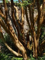 P5102584 (simonrwilkinson) Tags: nymans nationaltrust haywardsheath westsussex handcross garden trees
