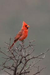 northern cardinal sedona arizona (lee barlow) Tags: d7200 arizona birdsofarizona birdsofnorthamerica cardinaliscardinalis leebarlow nikon northerncardinal sedona