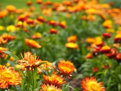 Strohblumenfeld (1elf12) Tags: strohblumen australien iga weltdergärten berlin marzahn flowers blumen blüte blossom germany deutschland 2017
