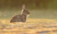 Wild Rabbit (Wouter's Wildlife Photography) Tags: wildrabbit rabbit bunny nature naturephotography wildlife wildlifephotography animal mammal rodent sunset