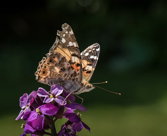 Painted lady (lrt_textiles) Tags: gardenmacro paintedlady butterfly insect wildlife outdoors nikond810