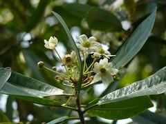 Drimys winteri (tammoreichgelt) Tags: winteraceae flower canelo winters bark mount lofty