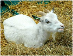 One Contented Goat ... (** Janets Photos **) Tags: uk cities events animals goats
