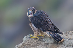 Peregrine fledge (knobby6) Tags: peregrine fledge falcon tiercel hawk birdofprey california ocean cliffs