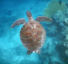 In the sea (Robyn Hooz) Tags: tartaruga caretta mare sea sipadan malaysia vacanze holiday sub scuba underwater wonder meraviglia