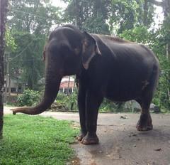 Attribution d'un éléphants par volontaire - GlobAlong (infoglobalong) Tags: sri lanka éléphants animaux aide animalier bénévolat asie excursions pêcheurs mahout bain cultures
