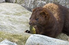 Mink (Rare and Wild) - Lunch on the rocks (Ann and Chris) Tags: amazing animal canon cute coast feeding furry gorgeous wildlife nature outdoors eating mink wild wildllife wildlifewatching