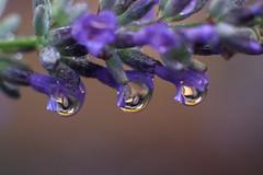 Drops (ancoay) Tags: lavanda macro drops gouttes gouttelettes nature water drips mondays splashes blue flower droplets 7dwf macrofotografía flor