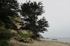 How many more storms? (jinxmcc) Tags: endangeredtree pointarenaharbor mendocinocoast northerncalifornia