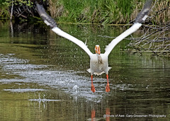Take Off (Gary Grossman (very busy with work)) Tags: americanwhitepelican whitepelican pelican garygrossmanphotography wildlife bird pacificnorthwest sunriver stream centraloregon oregon landscape earlymorning