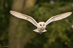 barn owl (jeff.white18) Tags: barn owl barnowl preditor birdofprey prey wings feathers flight inflight nature