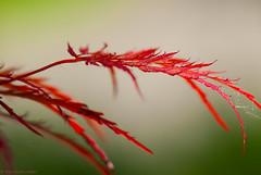 Red (>Vogel<) Tags: dof nature macro leav red redleav