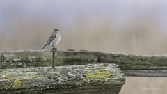 Happy Fence Friday- Mountain Bluebird Style (Chantal Jacques Photography) Tags: happyfencefriday mountainbluebird wildandfree saanichtonspit bokeh hff