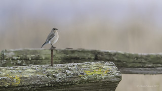 Happy Fence Friday- Mountain Bluebird Style